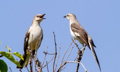 Cryptocurrency  Bitcoin How Mockingbirds Compose Songs Just Like Beethoven
